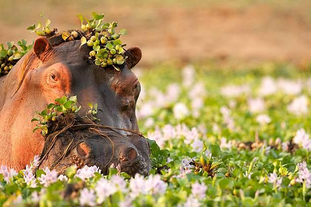 Hippopotamus in the Zambezi stock photo