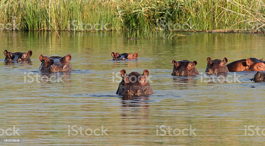 Hippopotamus in water royalty-free stock photo