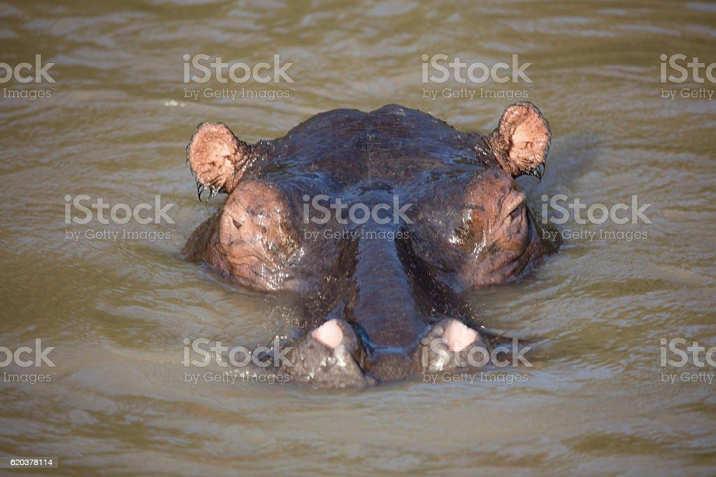 Hipopotam w wodzie  zbiór zdjęć royalty-free