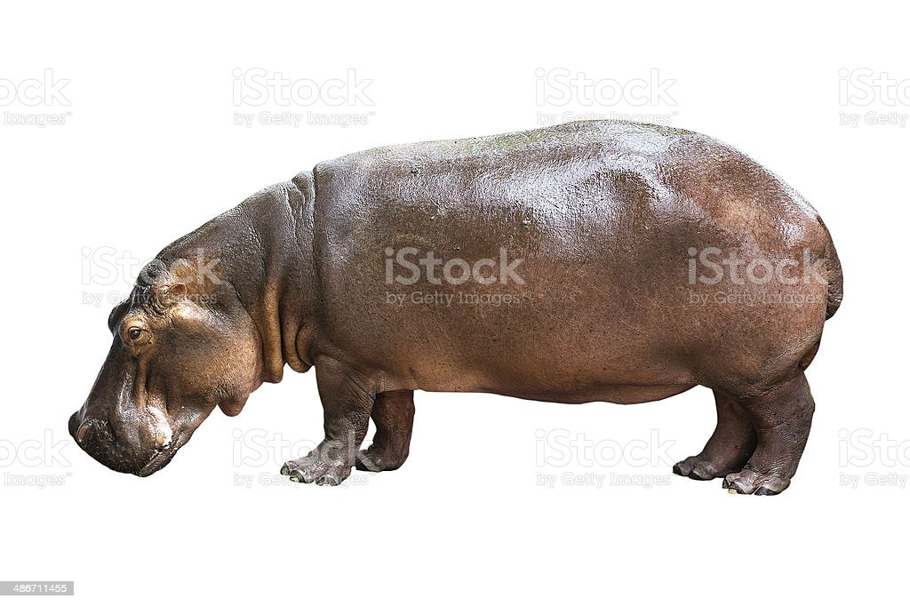 hippopotamus isolated on white background stock photo
