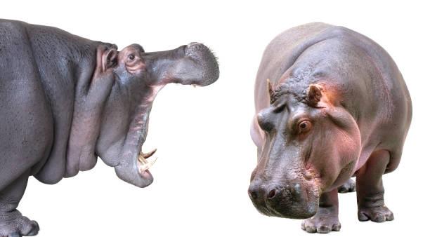 Hippopotamus isolated on white background stock photo