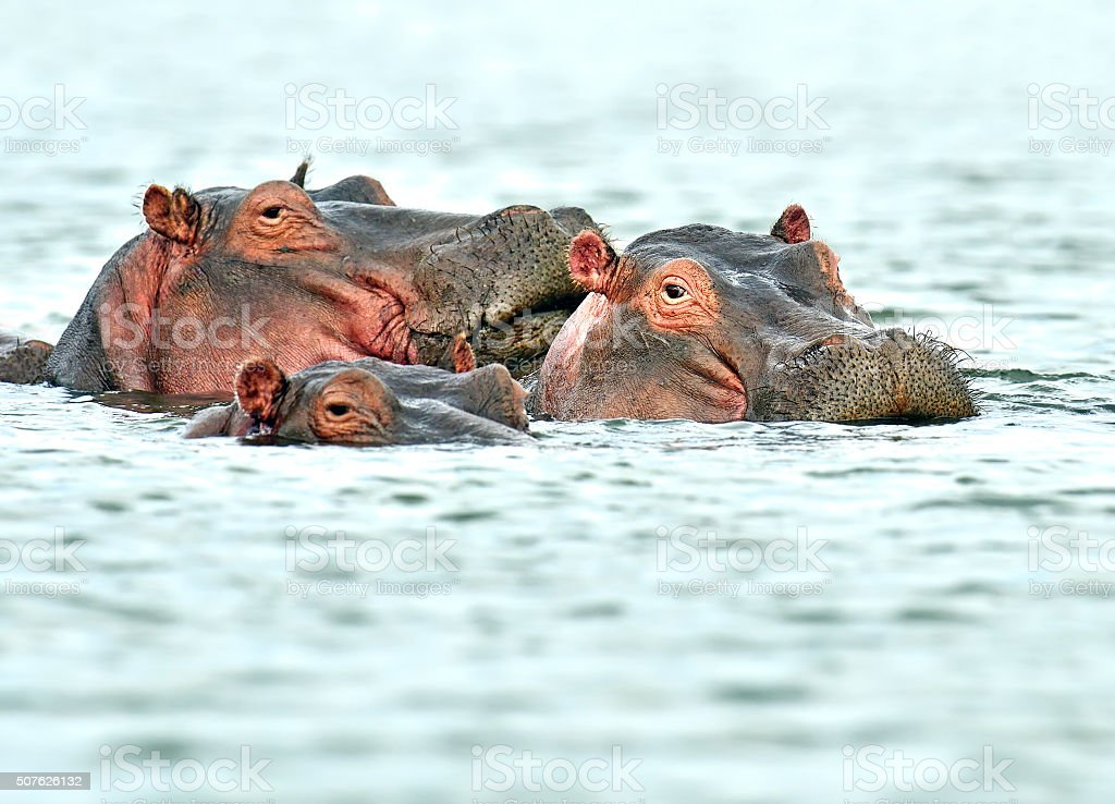 Hippopotamus Masai Mara stock photo