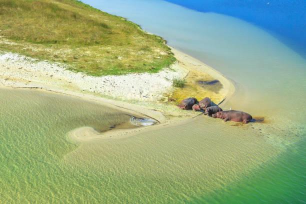 hippopotamus on a river - estuário imagens e fotografias de stock