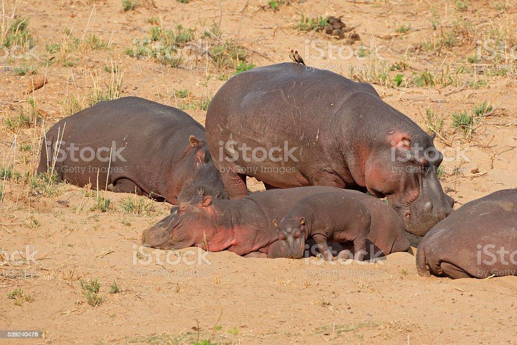 Hippopotamus on land royalty-free stock photo