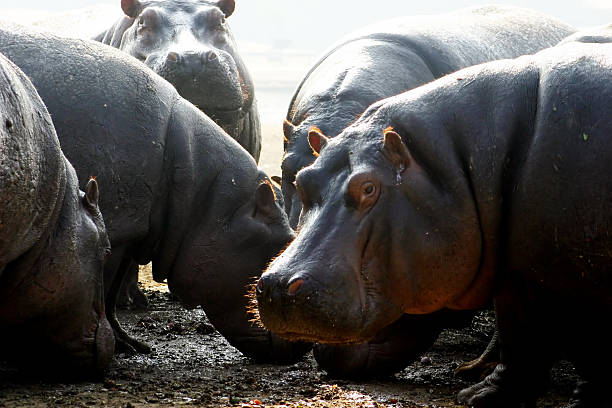 Hipopótamo - foto de acervo