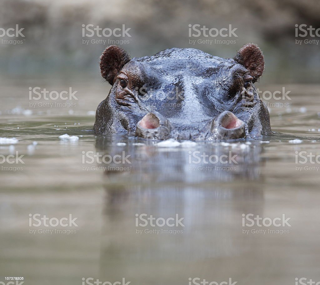 Hippopotamus stock photo