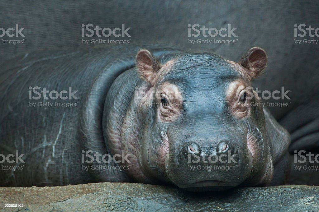 Hippopotamus (Hippopotamus amphibius). stock photo