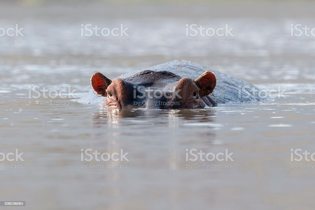 Hippopotamus (Hippopotamus amphibius) royalty-free stock photo