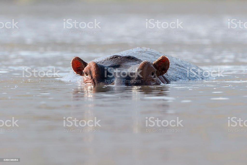 Hipopótamo (hipopótamo amphibius)  foto de stock libre de derechos