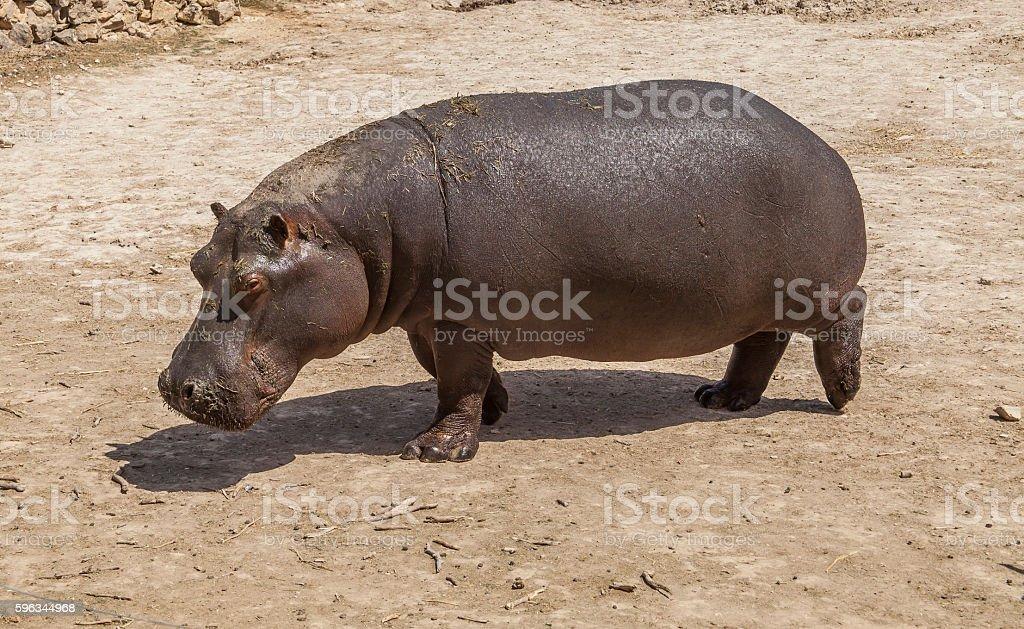 Hippopotamus royalty-free stock photo