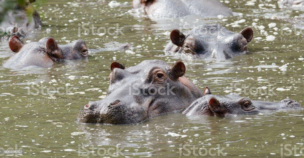 Hippopotamus stock photo