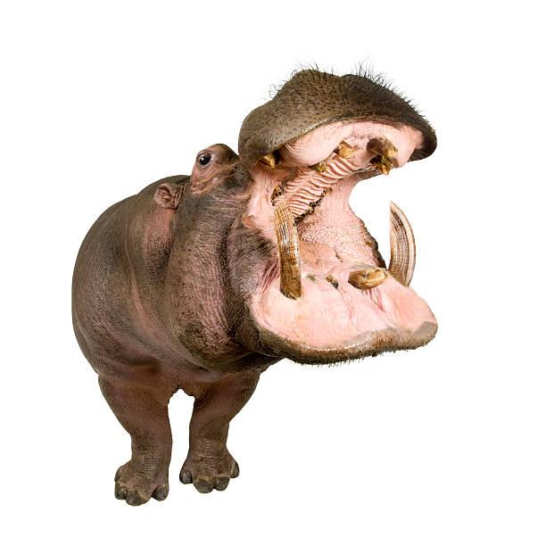Hippopotamus (30 years) stock photo