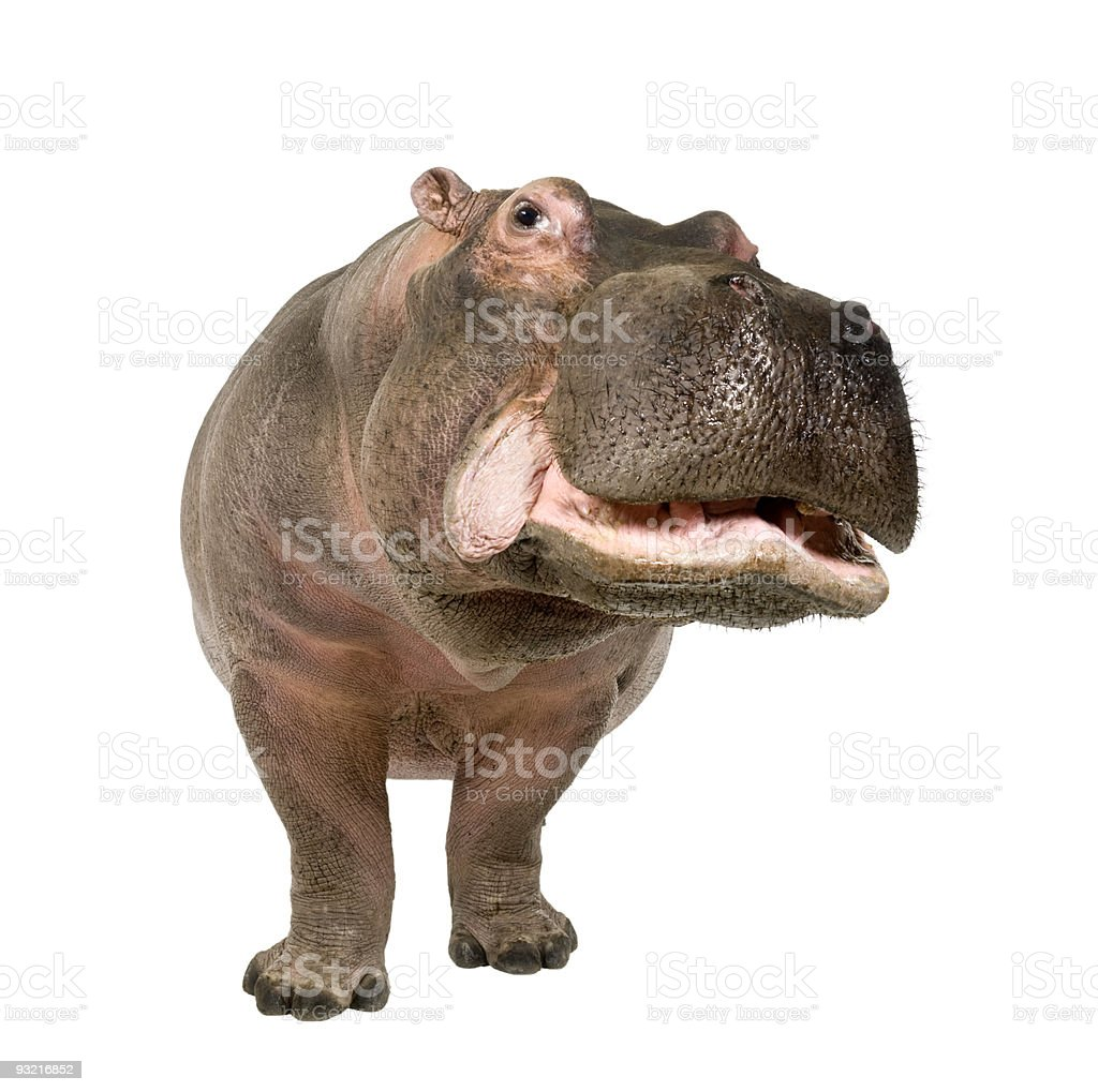 Hippopotamus (30 years) stock photo