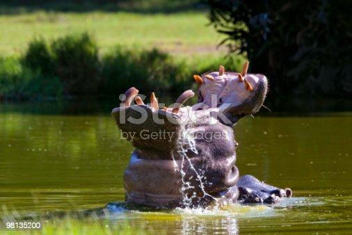 Hippopotamus Stock Photo & More Pictures of Africa