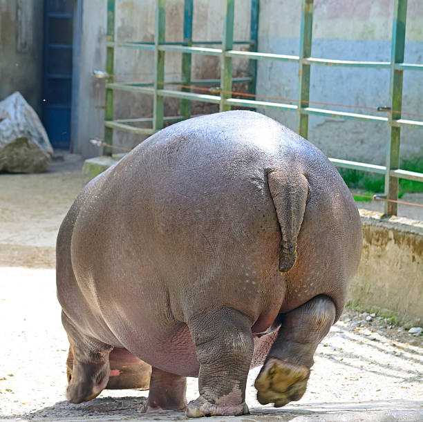 hippopotamus seen from behind in a zoo - hippo tail stock photos and pictures