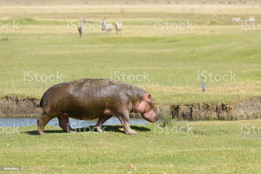 Hippopotamus walking stock photo