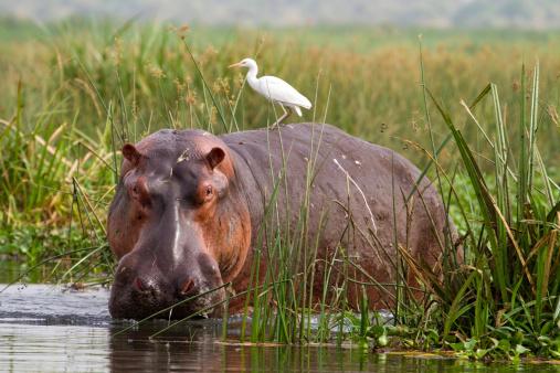 Hippopotamus wading through the Zambezi foliage
