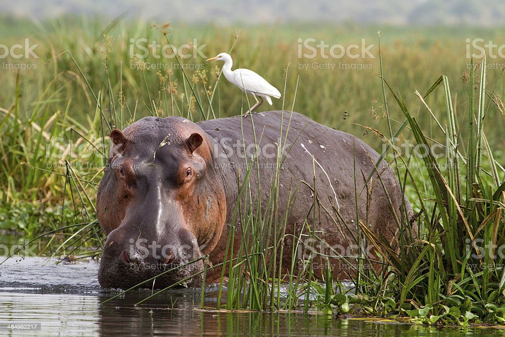 Hippopotamus (Hippopotamus amphibius) with Cattle Egret (Bubulcus ibis) stock photo