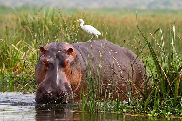 Hippopotamus (Hippopotamus amphibius) with Cattle Egret (Bubulcus ibis) stock photo