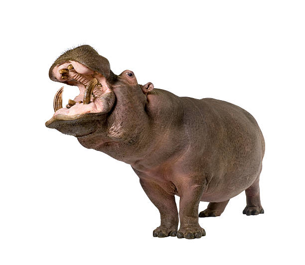 Hippopotamus with its mouth open on a white background stock photo