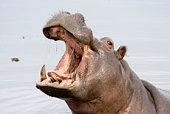 Hippopotamus (Hippopotamus amphibius) at the shoreline of Victoria Nile (\