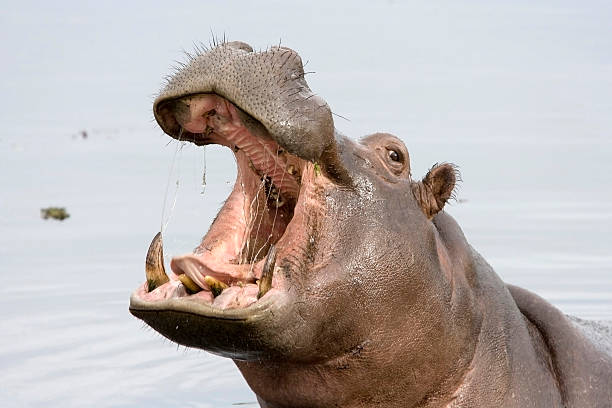 A hippopotamus with its mouth open while in the water stock photo