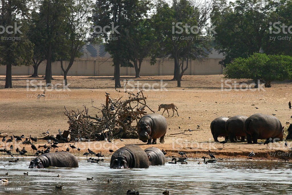 Hippopotamuses stock photo