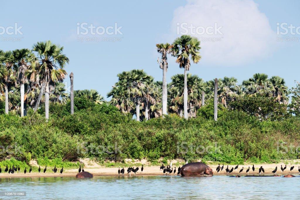 Hippopotames et africain dans le gibier de Selous en Tanzanie - Photo