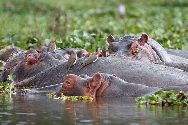 Hippos and Oxpecker Birds in Lake Naivasha stock photo