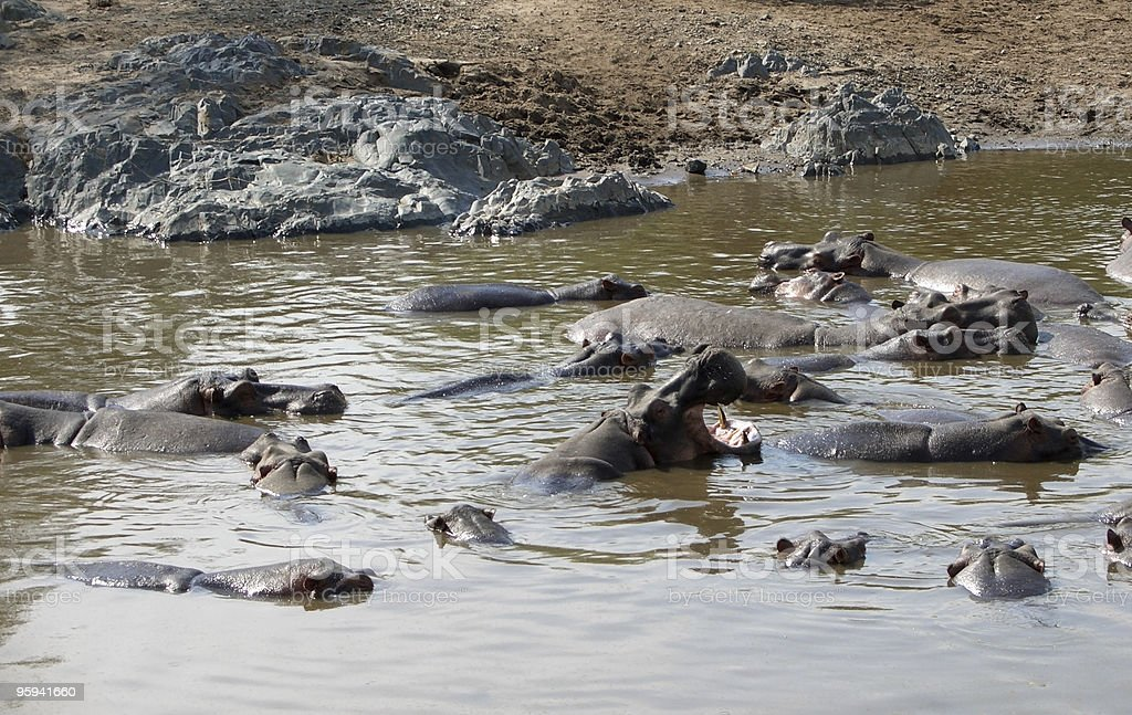 Hippos and sandy shore royalty-free stock photo