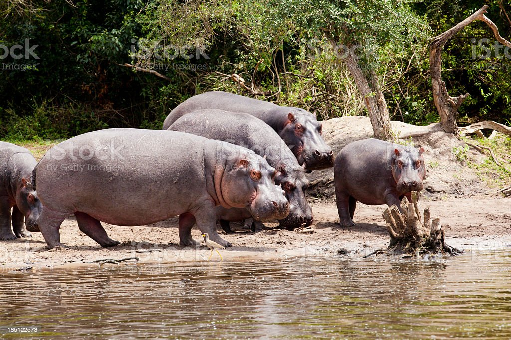 Hippos family and baby under African Sun- walking stock photo