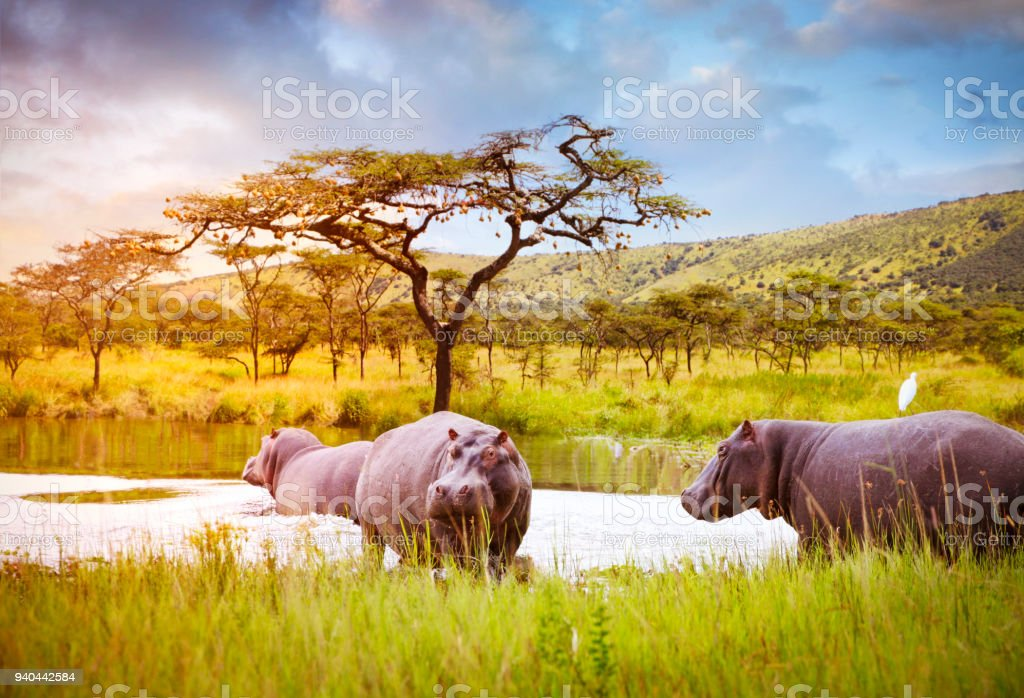 Hippos in Akagera National Park stock photo