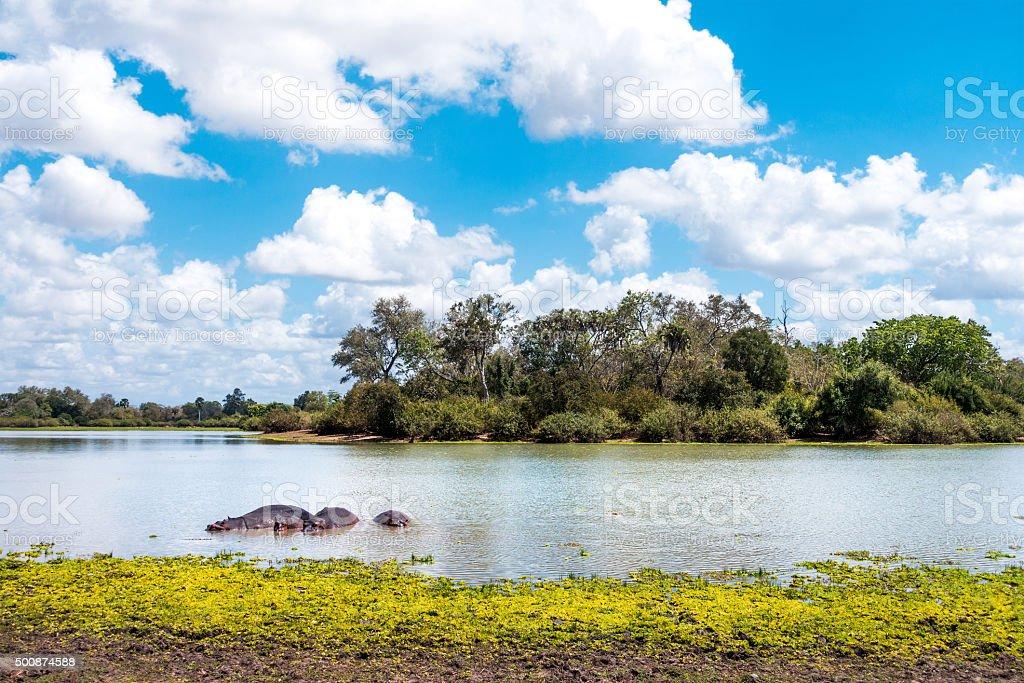 Hippos In Lake stock photo