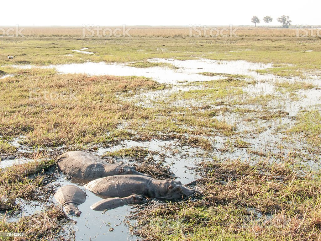 Hippos in shallow pool stock photo