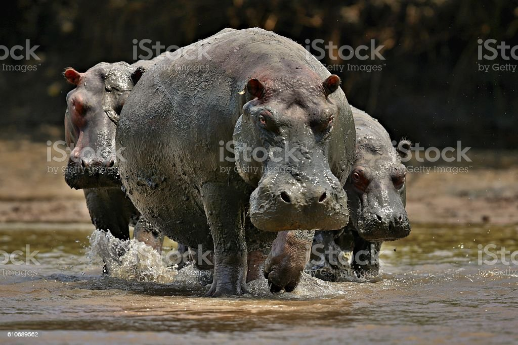Hippos in the beautiful nature habitat stock photo
