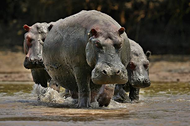 Hippos in the beautiful nature habitat stock photo