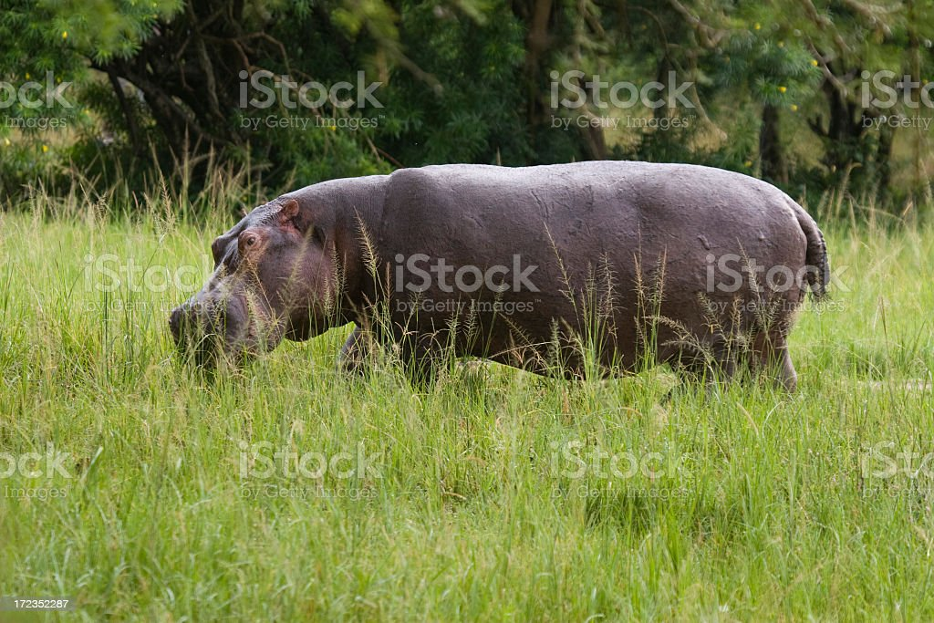 Hippos in the Nile river royalty-free stock photo