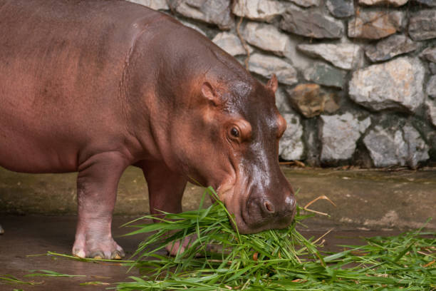 Hippos in the zoo eating grass – zdjęcie