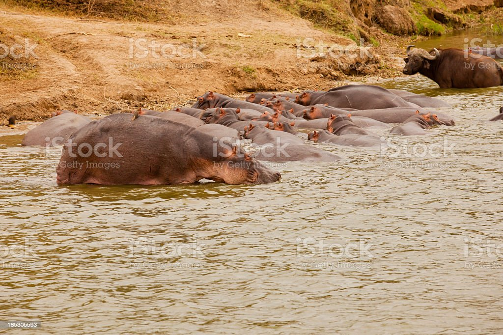 Hippos in water - resting with Buffaloes stock photo