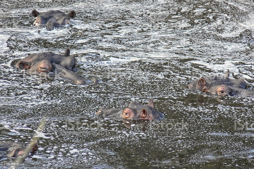 hippos royalty-free stock photo
