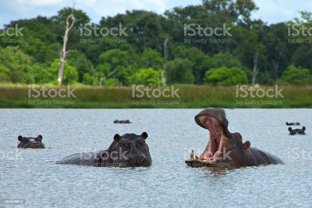 Hippos Rearing in the lake, Okavango Delta stock photo