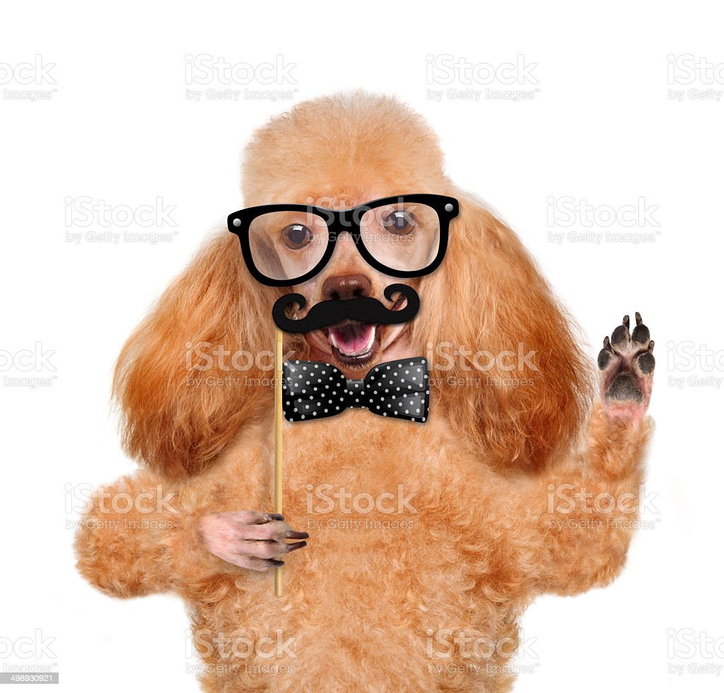 Hipster dog royalty-free stock photo