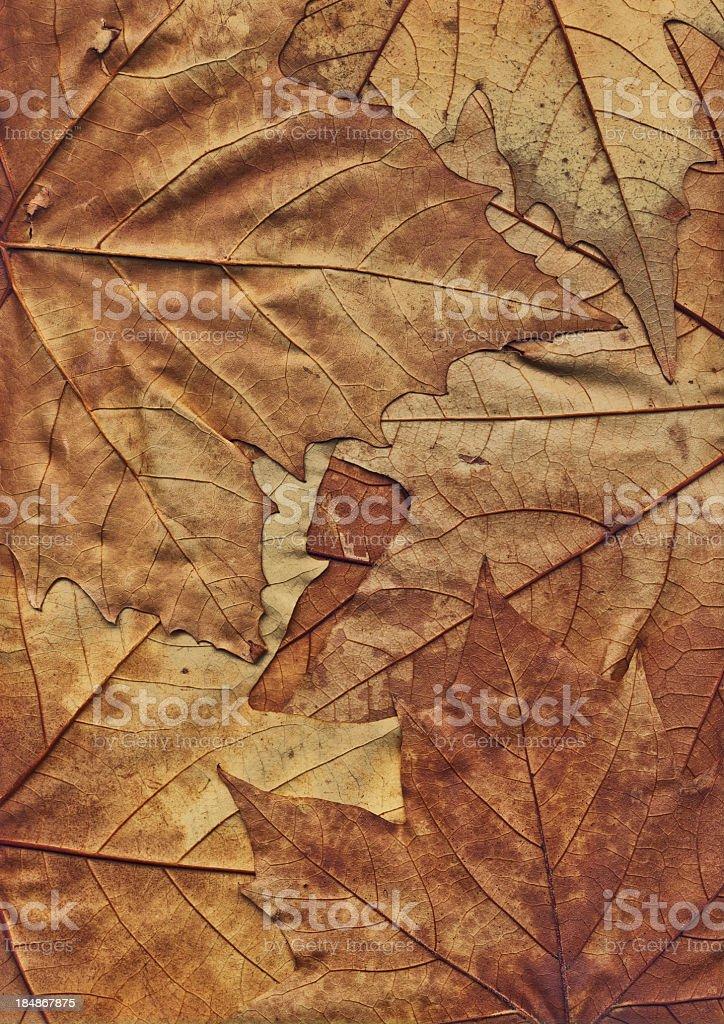 Hi-Res Autumn Dry Maple Foliage Backdrop royalty-free stock photo