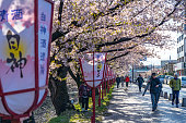 Hirosaki city street view. Cherry blossom in spring season sunny day and clear blue sky. Blooming pink sakura trees flowers petals starting to fall. Aomori Prefecture, Japan