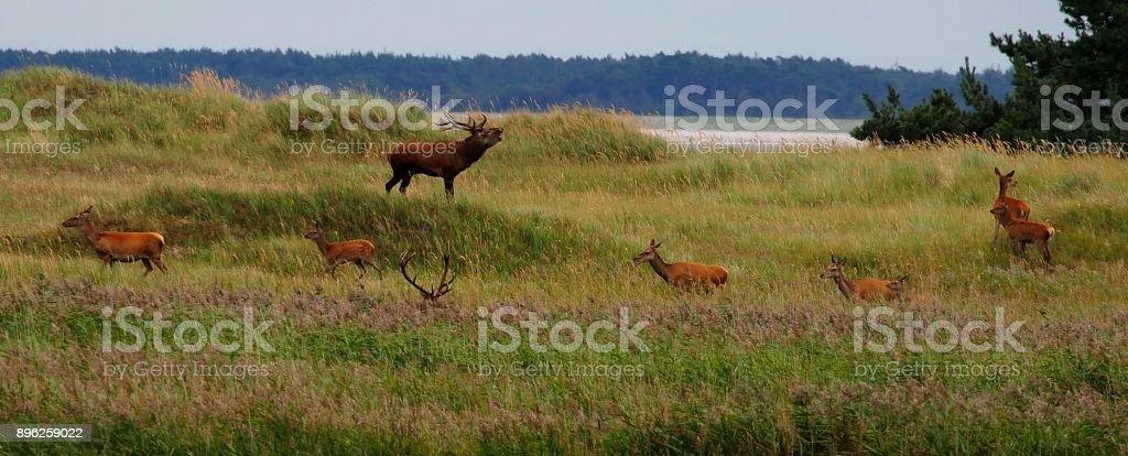 Hirsche auf der Düne stock photo