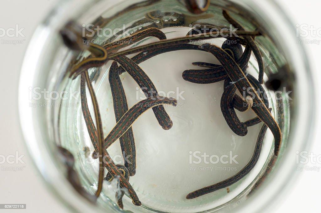 Hirudotherapy. Medical leeches stock photo