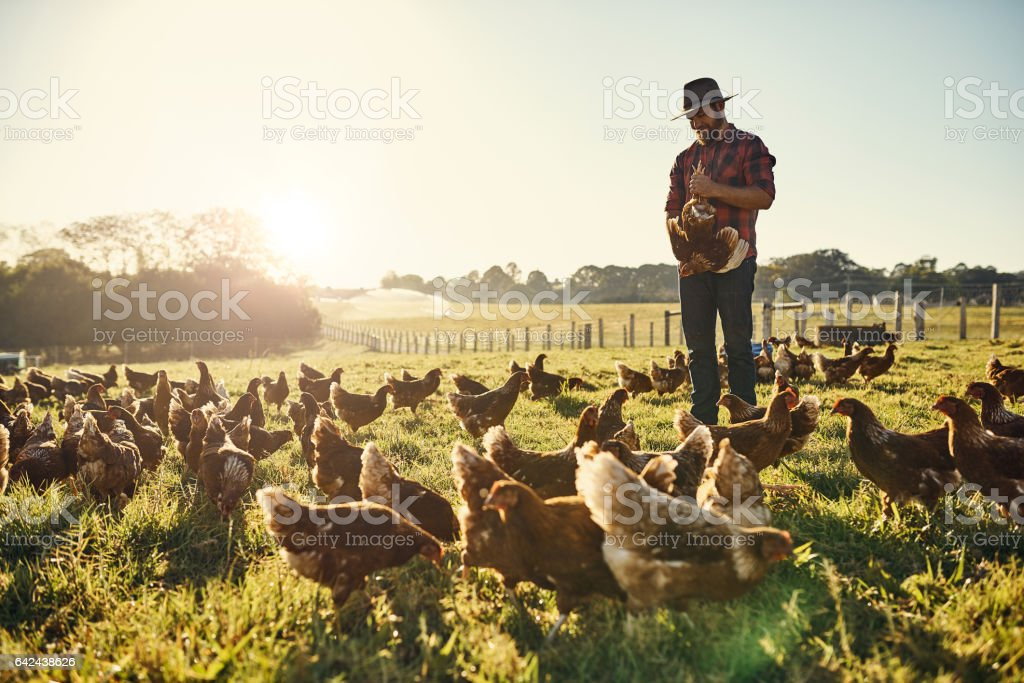 His hens trust him implicitly stock photo