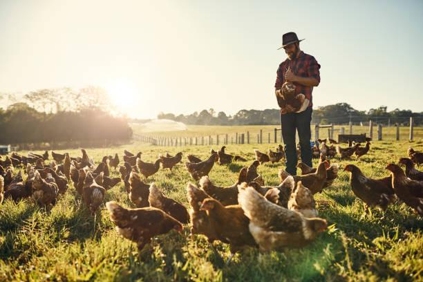 Suas galinhas confiar nele implicitamente - foto de acervo