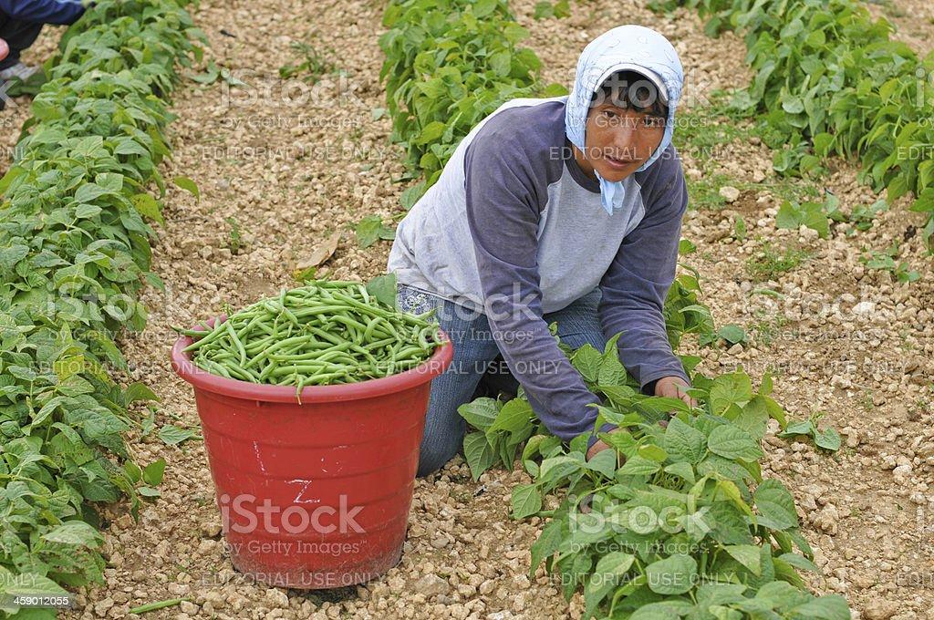 Hispanic Frau in uns Harvest – Foto