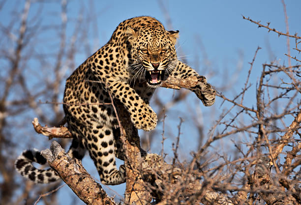 hissing leopard on a tree in namibia stock photo